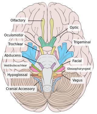 The Vagus Nerve Core Piece Of The Autism Puzzle Part 1 What Is